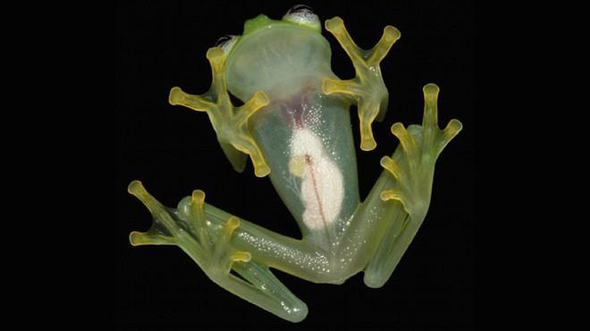 hyalinobatrachium-dianae-02
