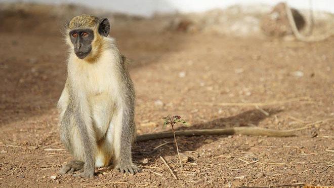 yesil maymun