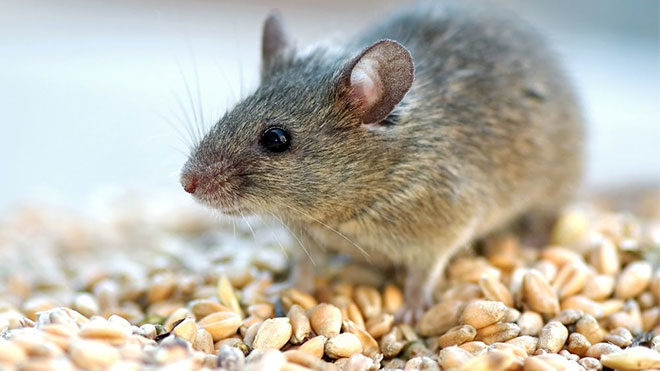 genç fare